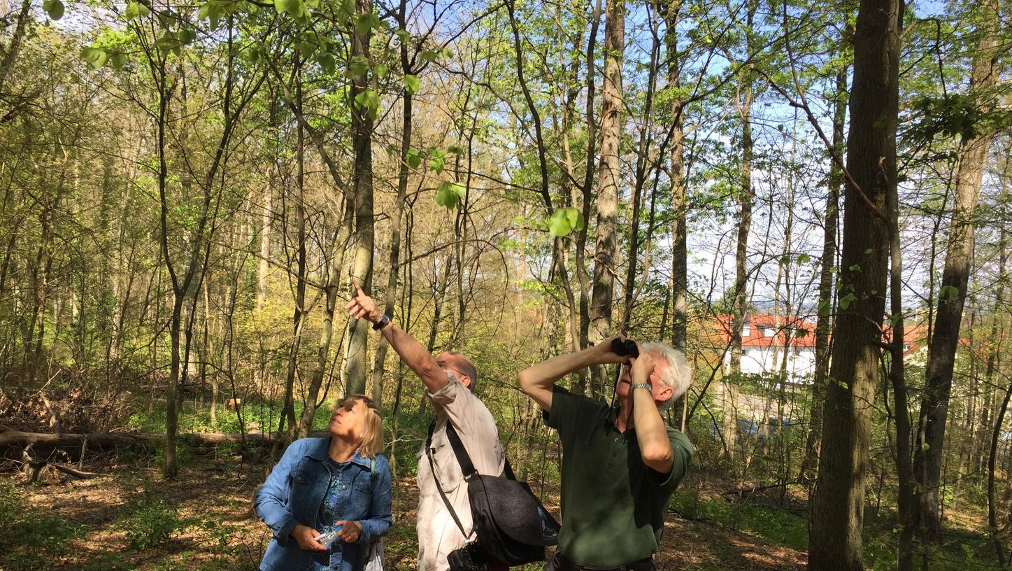 Prüfender Blick nach oben: Der Gunzenhäuser Forstamtsleiter Jürgen Stemmer, Dr. Hannes Lemme und Dr. Gabriela Lobinger (von rechts) von der Landesanstalt für Wald und Forstwirtschaft blicken sorgenvoll nach oben. Noch können sie nicht sagen, welche Auswirkungen der Kahlfraß auf die Bäume haben wird.