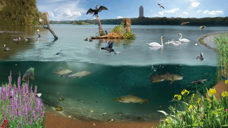 So soll der Wöhrder See in Zukunft aussehen: Die aktuell steilen Ufer werden abgeflacht und dort entsteht eine Entwicklungszone für biologische Vielfalt. In diesem Flachwasserbereich soll Röhricht wachsen, also Schilf, Rohrkolben, Simsen und Seggen. Damit entsteht Lebensraum für Schnecken, Muscheln, Vögel und Insekten.