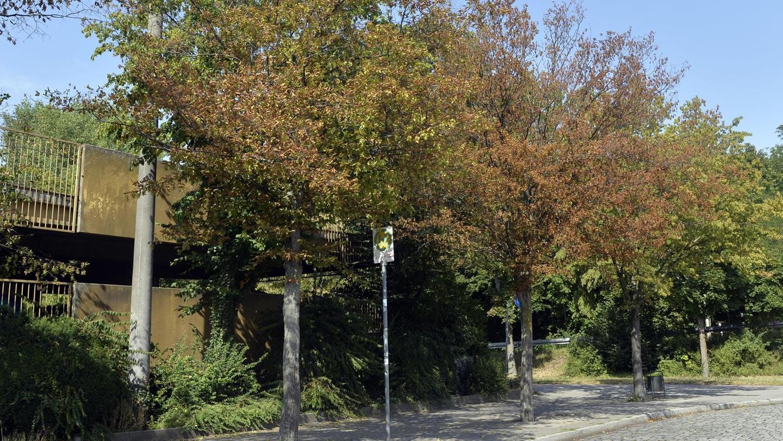 Hitze und Trockenheit haben auch diese Bäume neben dem Parkhaus am Großparkplatz sichtlich zugesetzt. Ob sie gefällt werden müssen, entscheidet die Abteilung Stadtgrün.