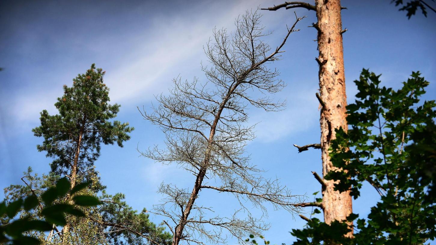 Auch im relativ solide aufgestellten Mischwald der Kleeblattstadt bleiben Schäden bei extremer Witterung nicht völlig aus. Das zeigten diese abgestorbenen Bäume im Abschnitt zwischen dem Hotel Forsthaus und dem Wildschweingehege.