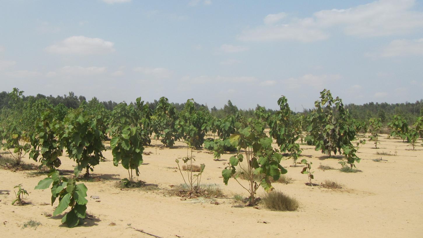 Mit Teakbäumen wie hier, aber auch mit Eukalyptus, Pappeln, Pinien, Akazien oder Zypressen wird die ägyptische Wüste bei Ismailia begrünt. Bewässert wird mit vorgereinigtem Haushaltsabwasser.