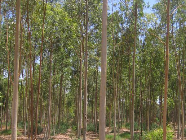 Fünfjähriger Eukalyptus ist im ägyptischen Ismailia duch die Abwasserbewässerung bereits 15 Meter hoch.