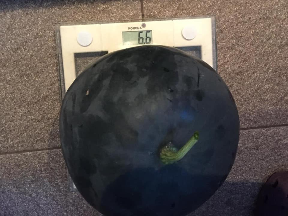 6,6 Kilo bringt die selbst gezüchtete Wassermelone von Isabella Heumann auf die Waage.