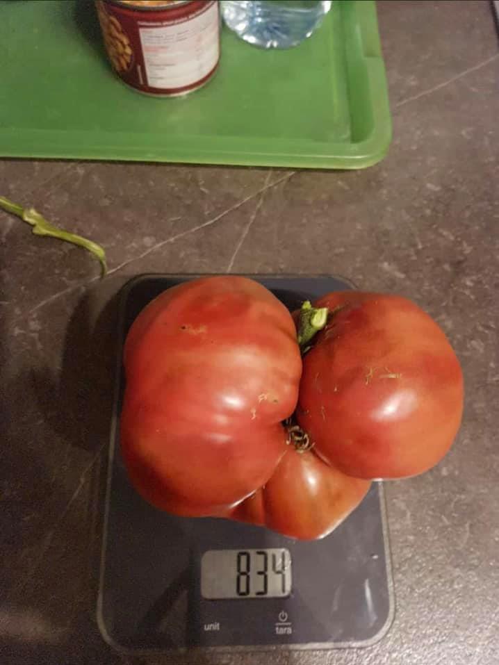 Satte 834 Gramm bringt die fleischige Tomate von Arnold Walter auf die Waage.