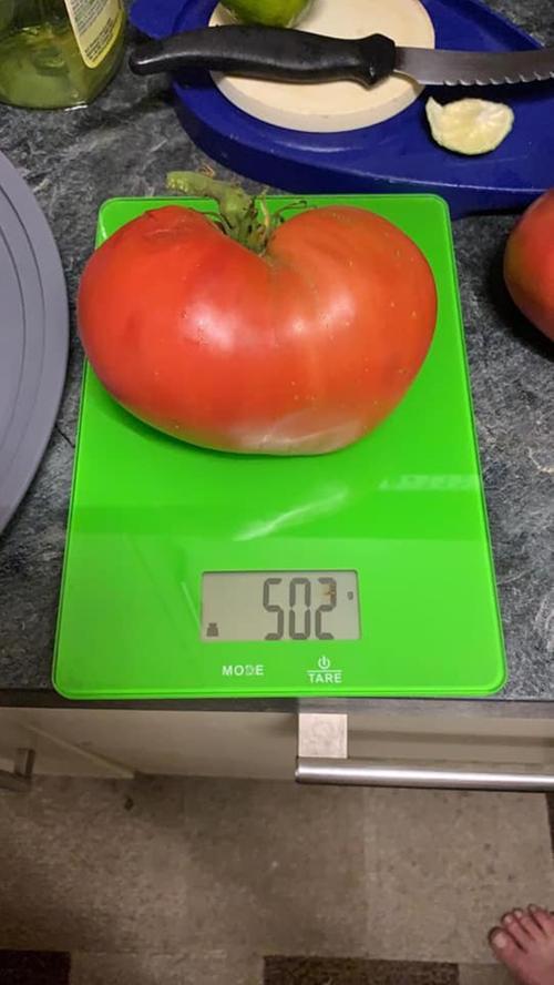 Stolze 502 Gramm bringt die Tomate von Sandra Zimmermann auf die Waage.