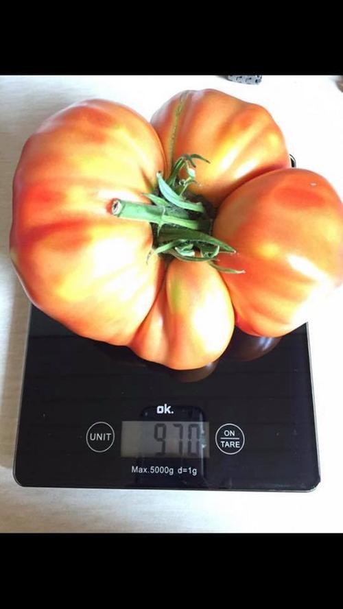 Was für ein dickes Ding: Nahezu ein Kilo (970 Gramm) wiegt die Fleischtomate von Sabine Stöckel.