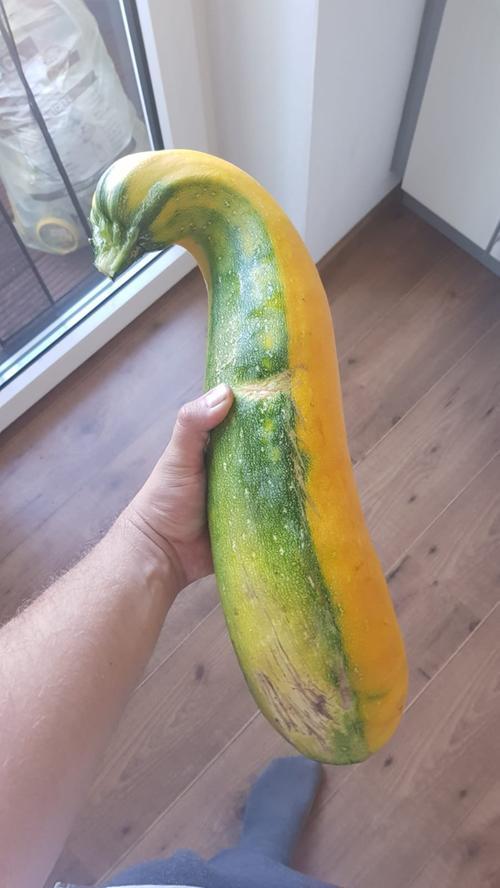 Zweifarbig und gebogen: Eine nicht ganz alltägliche Zucchini durfte Saskia Meusel ernten.