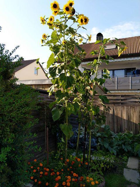 Die Sonnenblume von TC Mkbl Byrk ist 3,5 Meter hoch.