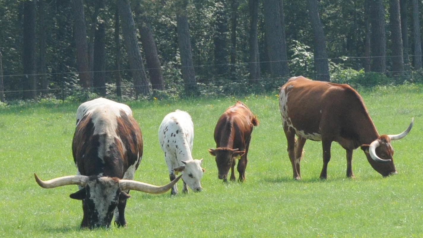 Vier der sieben Longhorn-Rinder von Bernd Fries. Bei der braunen Kuh wächst ein Horn nach oben, das andere nach unten. Warum das so ist, weiß niemand.