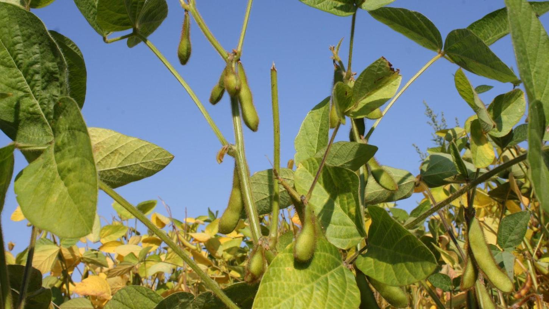 An kniehohen Pflanzen reifen die Sojabohnen des Kleinweisacher Landwirts Alfred Winkler heran.