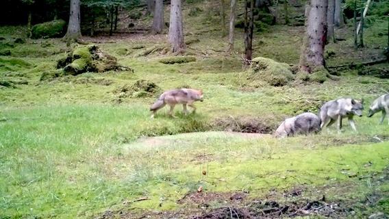 Neuer Wurf: Wolfspaar in Franken hat erneut vier Junge
