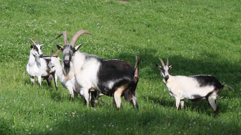 Die seltenen Pfauenziegen werden weniger zur Verwertung, als zum Erhalt der Art gezüchtet, wie hier bei Emskirchen. Bei Tennenlohe hilft eine große Herde, das Naturschutzgebiet mit den Przewalski-Urpferde vor der Verbuschung zu bewahren.