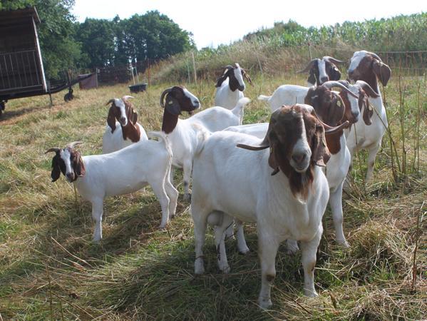 Burenziegen werden vor allem zur Landschaftspflege und wegen ihres Fleisches gehalten. Sie geben nicht viel Milch und werden deshalb nicht gemolken.