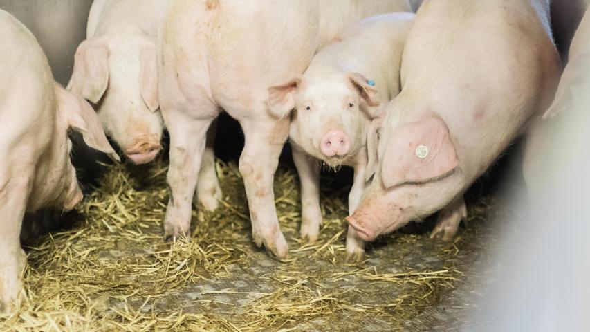 Die ersten zwei Schweine laufen zielstrebig die Metallrampe in den Viehtransporthänger hoch. Dort liegt Stroh auf dem Boden. Einmal drin machen sie keine Anstalten wieder herauszulaufen.