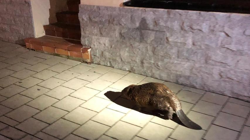 Ein Biber läuft an einer Straße entlang. Das Tier drohte von Autos überfahren zu werden. Die Polizei konnte den Biber dazu bewegen die Fahrbahn zu verlassen und führten ihn zurück zur Pegnitz, wo er in den Fluten verschwand.