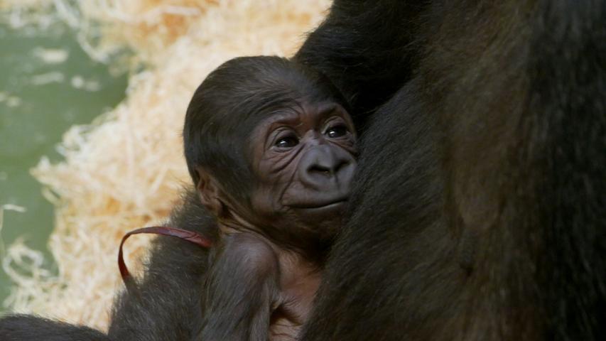 Zwei Gorilla-Babys kamen im November 2019 im Nürnberger Tiergarten zur Welt, allerdings überlebte nur eines von ihnen. Nachdem die Menschenaffen einige Tage Zeit hatten, sich in Ruhe an die neue Situation zu gewöhnen, wurde das Affenhaus wieder für Besucher geöffnet. Die konnten bei dieser Gelegenheit einen ersten Blick auf die frisch gebackene Mama und ihren Nachwuchs werfen: Gorilla-Baby Kato entwickelt sich seither prächtig.