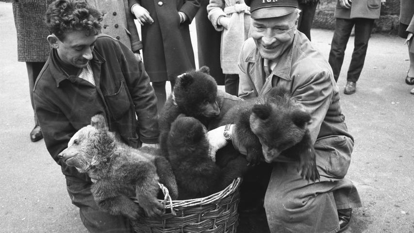 Tiergarten Nürnberg, Sechziger Jahre, 1961, Junge Bären werden präsentiert. Foto: Gerardi. Ähnliches Motiv wurde eröffentlicht in den NN am 30./31.03. 1961. Überschrift: