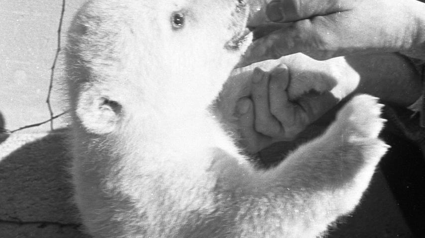 Nürnberg, Sechziger Jahre, 1960er, 1962. Kleiner Eisbär wird von Direktor Alfred Seitz gefüttert im Nürnberger Tiergarten. Foto: Gerardi. Veröff. in den NN am 10./11.02.1962. Überschrift: