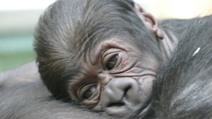 Kleine Bären und große Gorilla-Herzen: Wie sich die Aufzucht im Tiergarten verändert hat