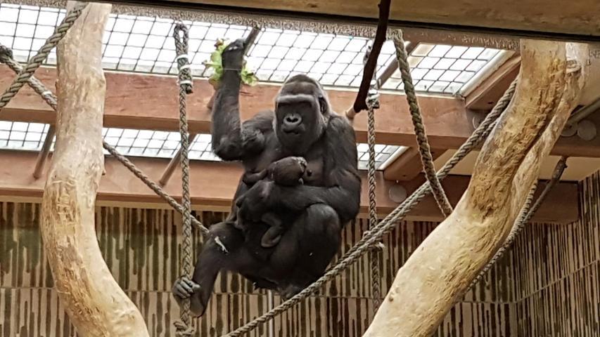 Foto: Christina Merkel - gesp. 11/2019 ..Motiv: Gorilla-Weibchen Habibu und ihrem Baby im Tiergarten Nürnberg; Gorilla; Gorillas; Baby; Nachwuchs; Nachzucht;