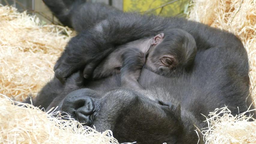 FOTO: Ramona Such / Tiergarten Nürnberg, gesp. 11/2019..MOTIV: Gorilla-Baby, Gorilla, Nachwuchs