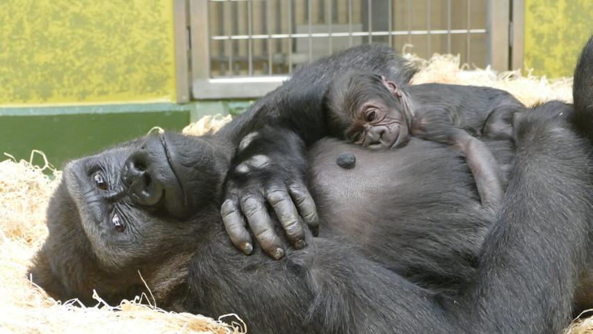 Gorilla-Mama Habibu kuschelt intensiv mit dem Nachwuchs. Das Baby wächst in einer Gruppe im Nürnberger Tiergarten auf.