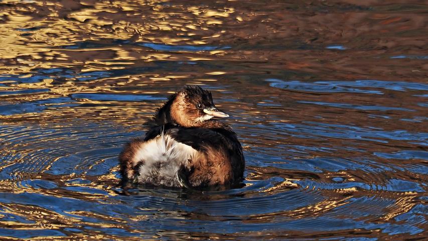 In Ebermannstadt hat NN-Leserin Ruth Reheuser beim Fotografieren der Wasservögel an der Wiesent geradezu Goldgräberstimmung bekommen. Golden gleißte die tief stehende Sonne über dem Wasser und zauberte eine wunderschöne, vergoldet scheinende Wasseroberfläche mit tiefblauer Farbe auf der Wiesent. Mittendrin nahm dieser kleine Zwergtaucher ein eisiges Bad im Fluss – als ob er sich in einem Wassergoldbad befinden würde. Man glaubte das Gold mit der Hand aus dem Wasser abschöpfen zu können, schreibt Ruth Reheuser. Gute Zukunftsaussichten wären das.