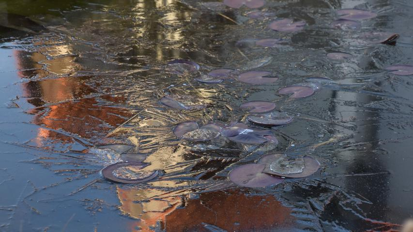 Seerosen tiefgekühlt: Hier hat der Frost zugeschlagen.