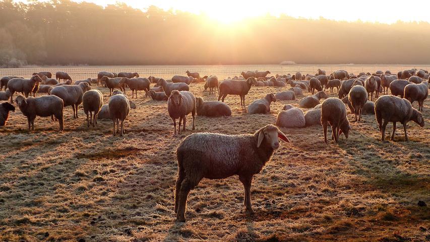 Eine Schafherde bei Erlangen-Hüttendorf. Sogar das Fell ist mit Raureif überzogen, der aber in der Sonne schnell verdampfen wird.