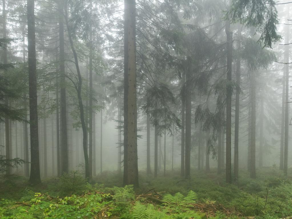 ARCHIV - 09.09.2019, Baden-Württemberg, Seebach: Fichten und eine Buche stehen im Nationalpark Schwarzwald im Nebel. (zu dpa: «Naturschützer: Absterbenden Wald stehen lassen für den Artenschutz») Foto: Patrick Seeger/dpa +++ dpa-Bildfunk +++   Verwendung weltweit