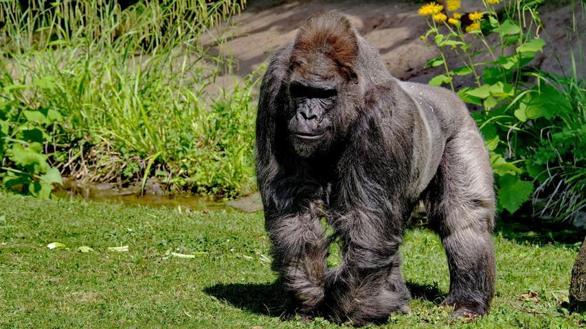Der Gorilla-Opa Fritz hatte seit 1970 mit einzelnen Unterbrechungen im Nürnberger Tiergarten die Besucher begeistert. Er zeugte sechs Junge und hat mittlerweile 14 Urenkel in ganz Europa verteilt. Der Gorilla war eine