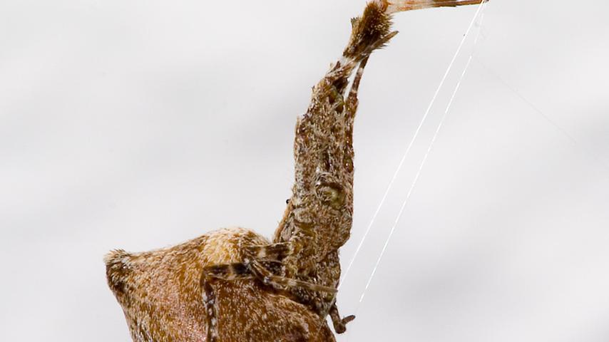 Die Federfußspinne (Uloborus plumipes) sieht völlig anders aus als die meisten ihrer Artgenossen. Ihren Namen trägt sie wegen federartiger Borstenbüschel an den Beinen. Als Einwanderin ist sie in den wohltemperierten Gartenabteilungen von Baumärkten weit verbreitet. Giftdrüsen besitzt sie nicht, sie erledigt ihre Beute allein mit ihrem Fangnetz.