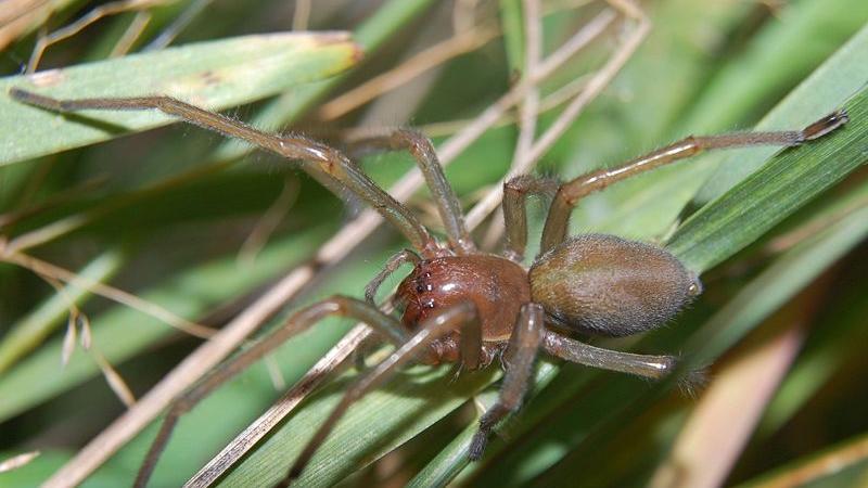 Der Ammen-Dornfinger (Cheiracanthium punctorium), der aber schon seit Jahrzehnten hier lebt, ist mit Abstand Deutschlands giftigste Spinne. Bisse wirken bei Menschen ähnlich wie Wespenstiche. Nach kurzer Zeit stellen sich Schmerzen ein, die in die Umgebung der Einstichstelle ausstrahlen. Schwere Verläufe mit Schüttelfrost oder Kreislaufversagen sind dagegen sehr selten. Inzwischen gibt es in Deutschland nicht mehr nur den Ammen-Dornfinger, auch andere Arten der Dornfinger-Spinnen wurden in den vergangenen Jahren in der Bundesrepublik beobachtet.