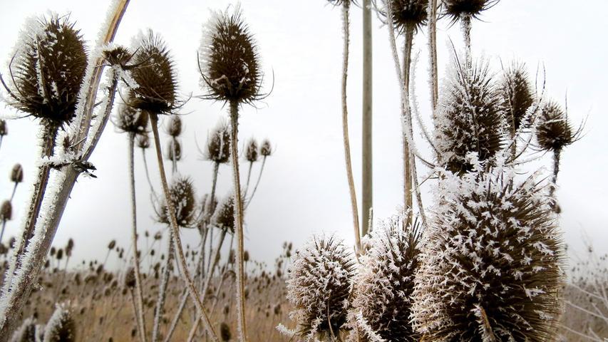 Der Winter lässt sich noch Zeit und schickt erst einmal Raureif. Der hat diese Disteln an einem Wegrand bei Kalchreuth fest im Griff.