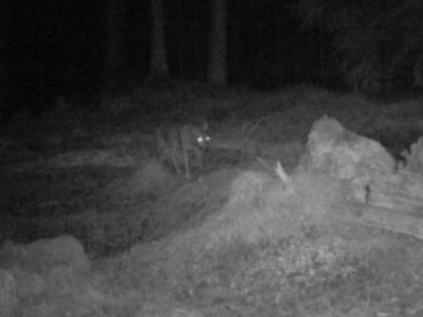 Am Dillenberg war das Tier, das vermutlich noch nicht ausgewachsen ist, in die Fotofalle getappt.