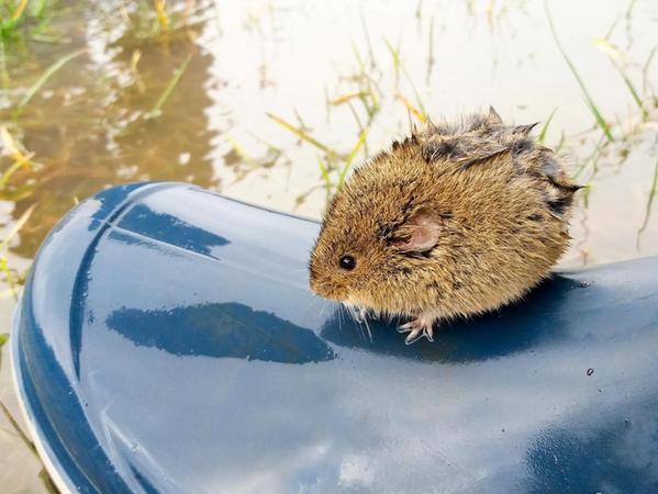 Auf dem Gummistiefel von Michael Färber erreichte diese nasse Maus das rettende Ufer.