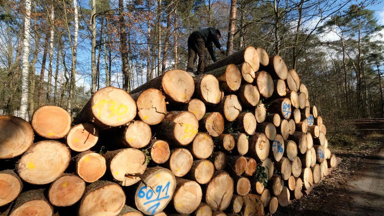 Durch das Überangebot gefällter Bäume aus den Wäldern sind die Holzpreise extrem gesunken.
