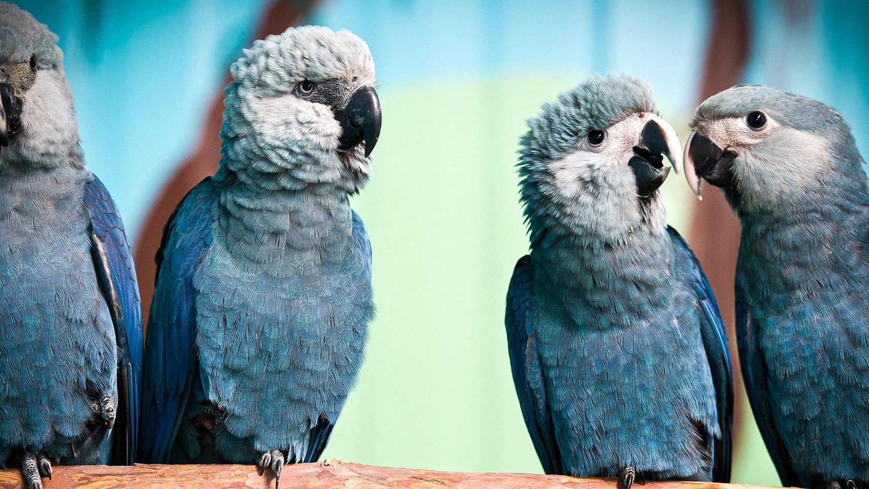 Am Dienstag ging es für 52 gezüchtete Spix-Aras per Flugzeug nach Brasilien. Dort werden sie nun auf das Leben in freier Wildbahn vorbereitet.