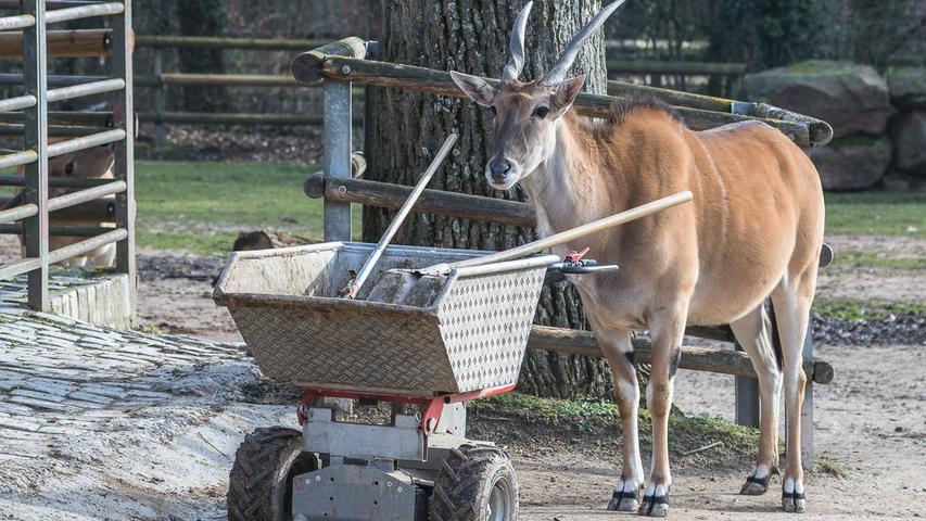 Die Elenantilope im Tiergarten sieht aus, als überlege sie bei der Gehegepflege mitzuhelfen. Die normalerweise in Afrika lebende Antilopenart wird auf der Roten Liste der gefährdeten Arten geführt.