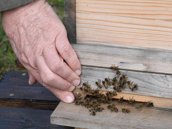 Die Bienenrasse Carnika ist friedlich und kaum aggressiv – wenn man sich langsam nähert und keine hektischen Bewegungen macht.