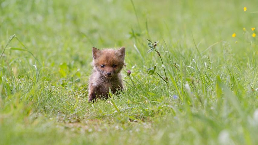 Mit einer kuriosen Verwechslung begann die Odysee für vier Fuchswelpen. In der Nähe von Ansbach hatte ein Mann in einem Waldstück vermeintlich ausgesetzte Hundewelpen gefunden, dabei waren die Fuchsbabys genau richtig in ihrem Territorium.