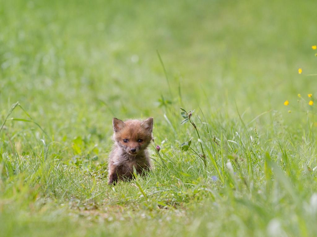 Fuchswelpe Fuchsbaby
