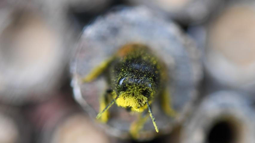Eine Mauerbiene schlüpft  in ein Holzstäbchen.
