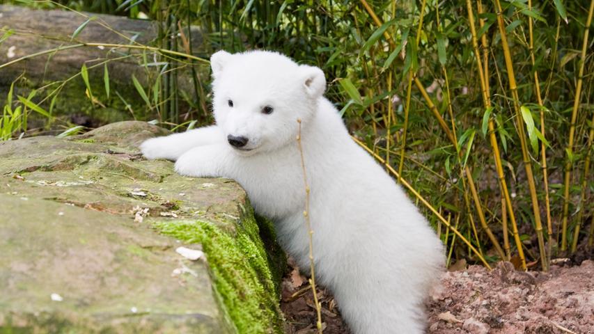 Den Anfang macht natürlich Nürnbergs prominentester Nachwuchs: Flocke. Sie hat 2010 mit ihrer Geburt eine ganze Stadt in Aufruhr versetzt. Das Eisbärbaby wurde innerhalb weniger Tage zum absoluten Shootingstar. Zwei Jahre später musste der mittlerweile ausgewachsene Eisbär Nürnberg allerdings verlassen - aus Platzgründen. Seitdem lebt der Eisbär an der Côte d´Azur, wo Flocke zuletzt ebenso süße Drillinge auf die Welt brachte.