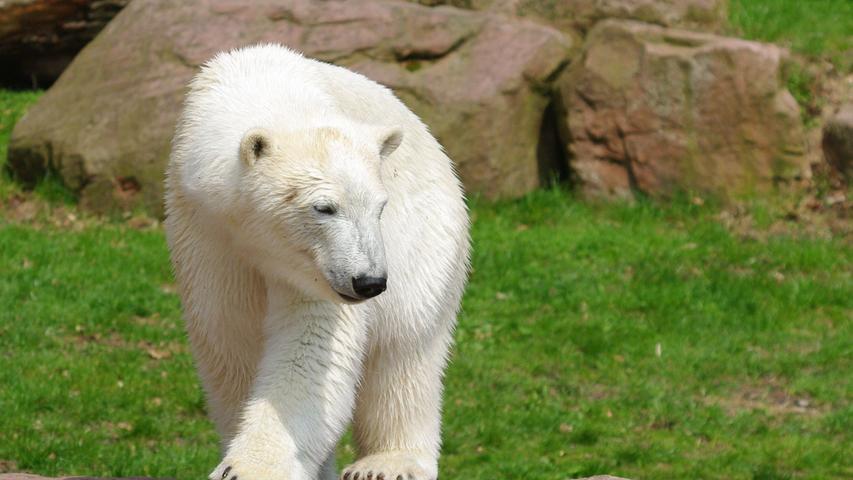 Neben der Jagd auf Eisbären gelten in jüngerer Zeit zwei weitere Faktoren für die Bedrohungmaßgeblich:Zum einen wird durch die verstärkte Förderung vonErdölundErdgasin den arktischen Regionen ihr Lebensraum eingeschränkt.Zum anderen wird befürchtet, dass die Lebensräume der Eisbären durch dieglobale Erwärmunggenerell drastisch zurückgehen würden. Es wird prognostiziert, dass die Eisbären bis Mitte des 21. Jahrhunderts ausgestorben sein werden. Im Tiergarten Nürnberg sorgte zuletzt 2007 die Geburt von Eisbärin Flocke für Aufregung.