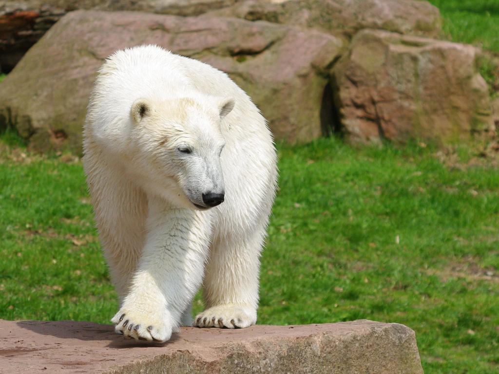 FOTO: Tiergarten Nürnberg. gesp. 2010 ..MOTIV: Eisbär Flocke
