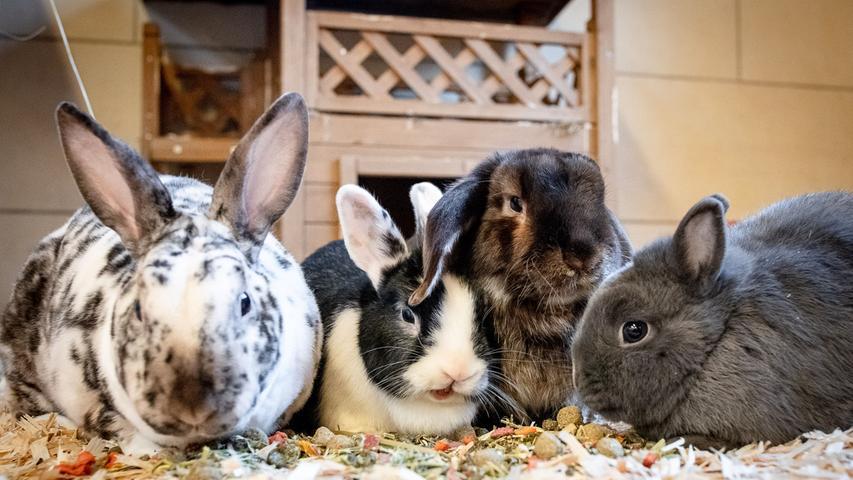 Ob langes oder kurzes Fell, einfarbig oder gescheckt: Im Tierheim warten viele samtige Langohren auf ein neues Zuhause! Am liebsten mit Artgenossen und viel Freilauf. Hauptnahrung der Kaninchen ist Heu, dazu ungespritztes