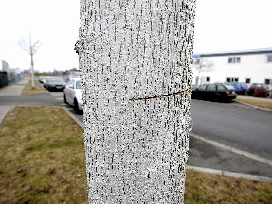 Mindestens 21 Bäume wurden im Fürther Süden angesägt, darunter dieser Ahorn in der Georg-Benda-Straße, der 2500 Euro wert war.