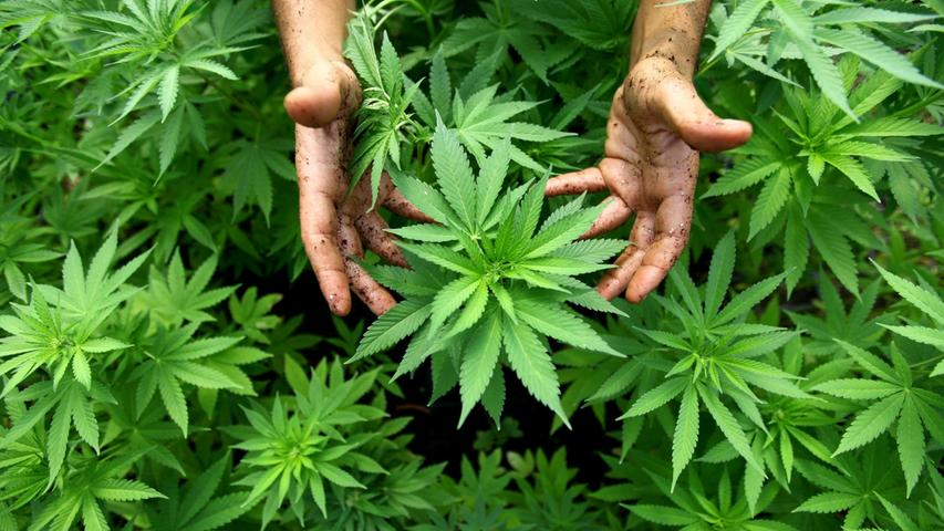 Meterhohe Cannabis-Pflanzen wuchsen auf dem Schwabacher Marktplatz.
