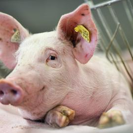 SamSon: Symbolbild Schwein